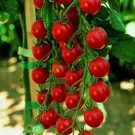 Tomat Large Red Cherry